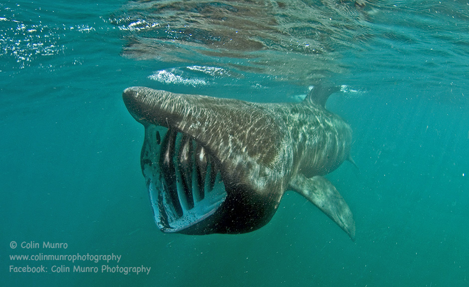 Large basking shark feeding