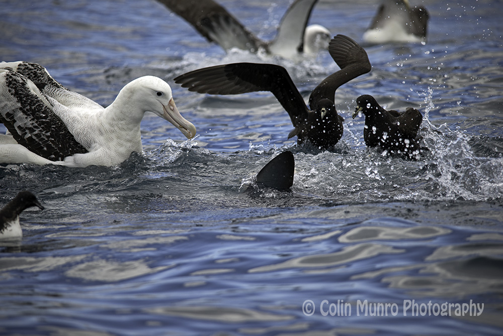 An albatross warily eyes the mako shark, whilst a westland petrel flaps away from the sharks path. Copyright Colin Munro Photography