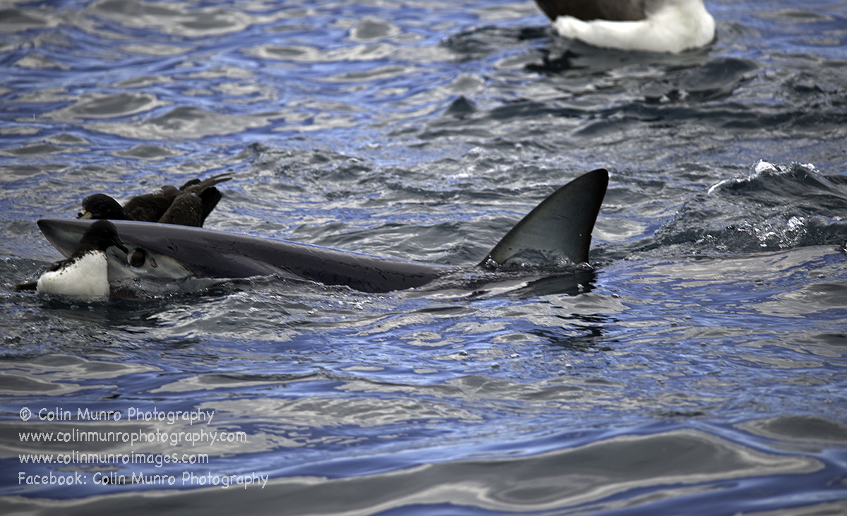 A Mako shark make a half-hearted attempt to grab a cape petrel. Copyright Colin Munro Photography