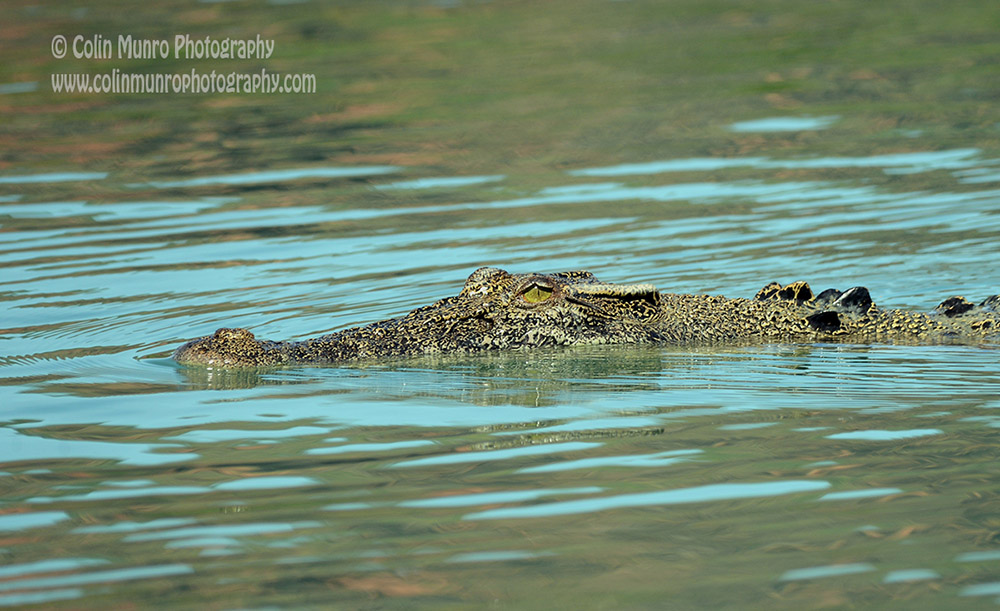 A saltwater crocodile cruises slowly along the surface, Hunter River, Western Australia.