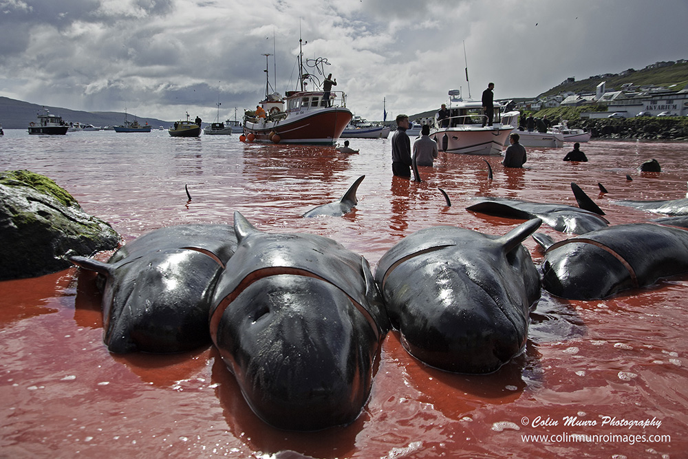 Recently killed pilot whales at the end of a grind or grindadrap. Torshavn,  Streymoy, Faroes.