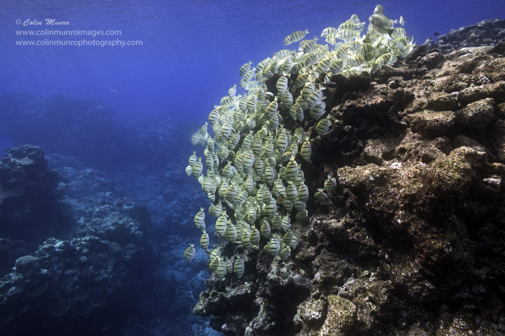 A school of Convict Surgeonfish graze a reef promontory, Nuie Island, South Pacific. © Colin Munro Colin Munro Photography