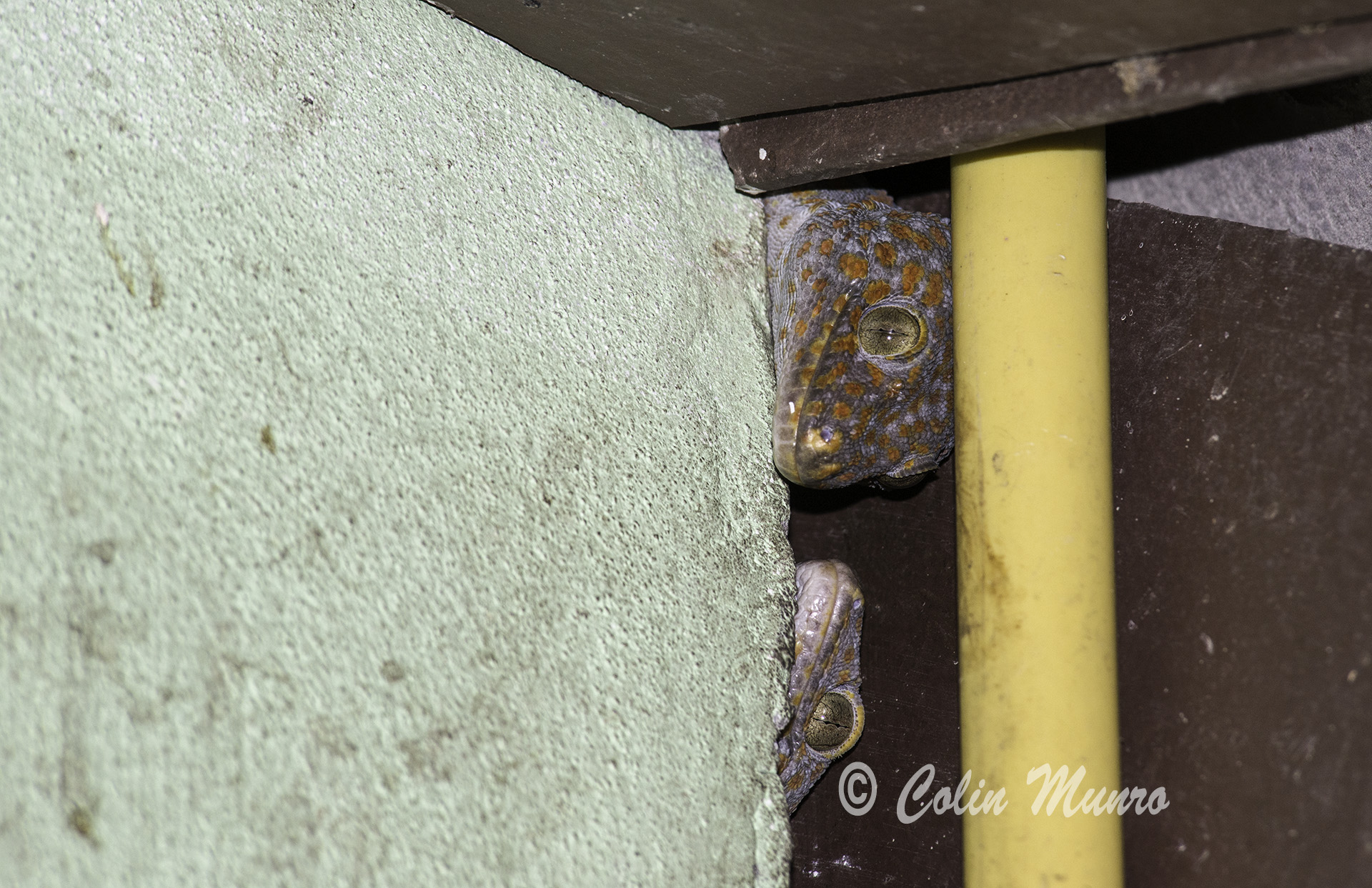 A pair of Tockay geckos watch and wait for the sun to set before leaving the safety of their shelter under a house roof. Phuket, Thailand. © Colin Munro Images