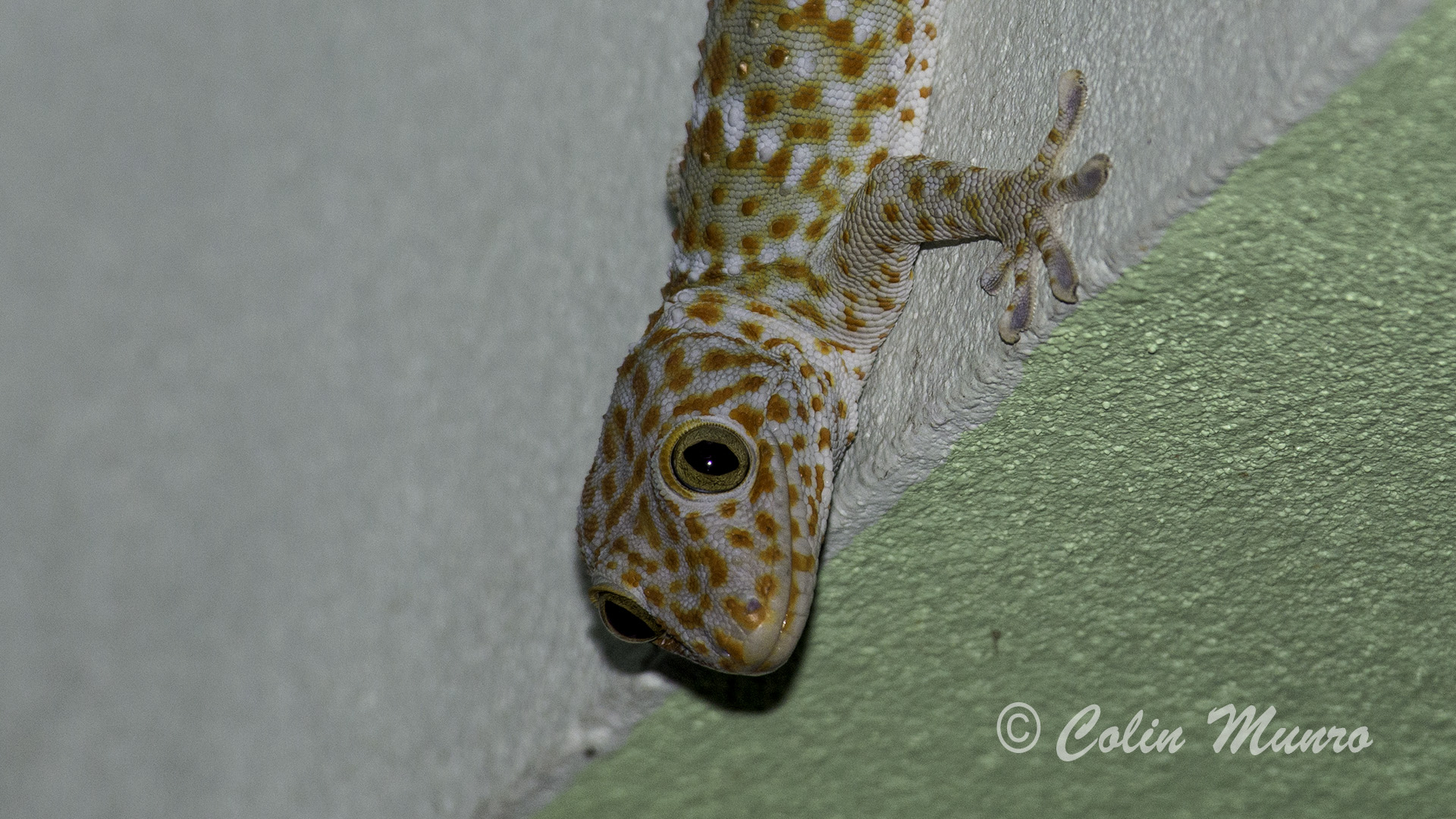 Tokay gecko on vertical wall © Colin Munro