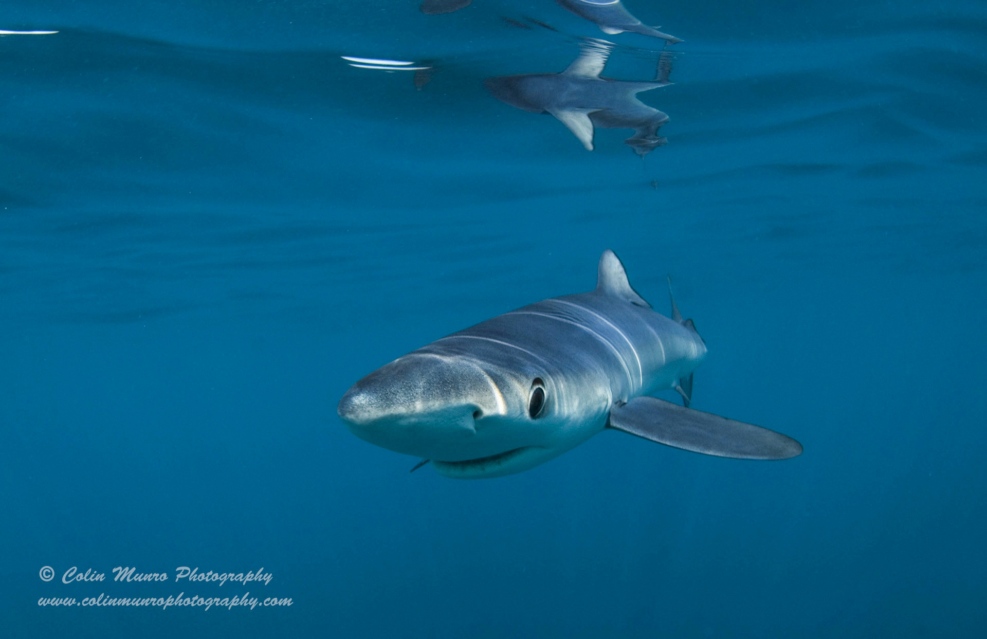 A blue shark checks me out during our dive off Cornwall. © Colin Munro Images
