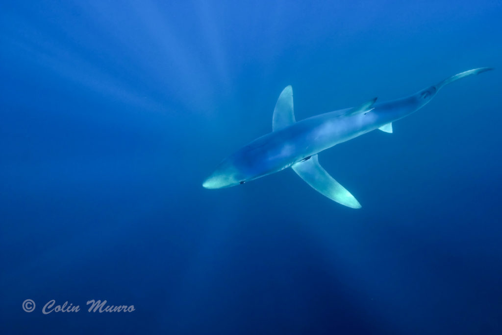 Blue shark swimming through clear blue water. Cornwall. © Colin Munro Images