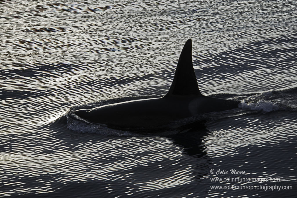 A large male orca glides through the water at sunset.  Photograph by Colin Munro, available as a fine art print or wall art at Colin Munro Images https://www.colinmunroimages.com/Prints-for-Sale/i-2Bp3WgP