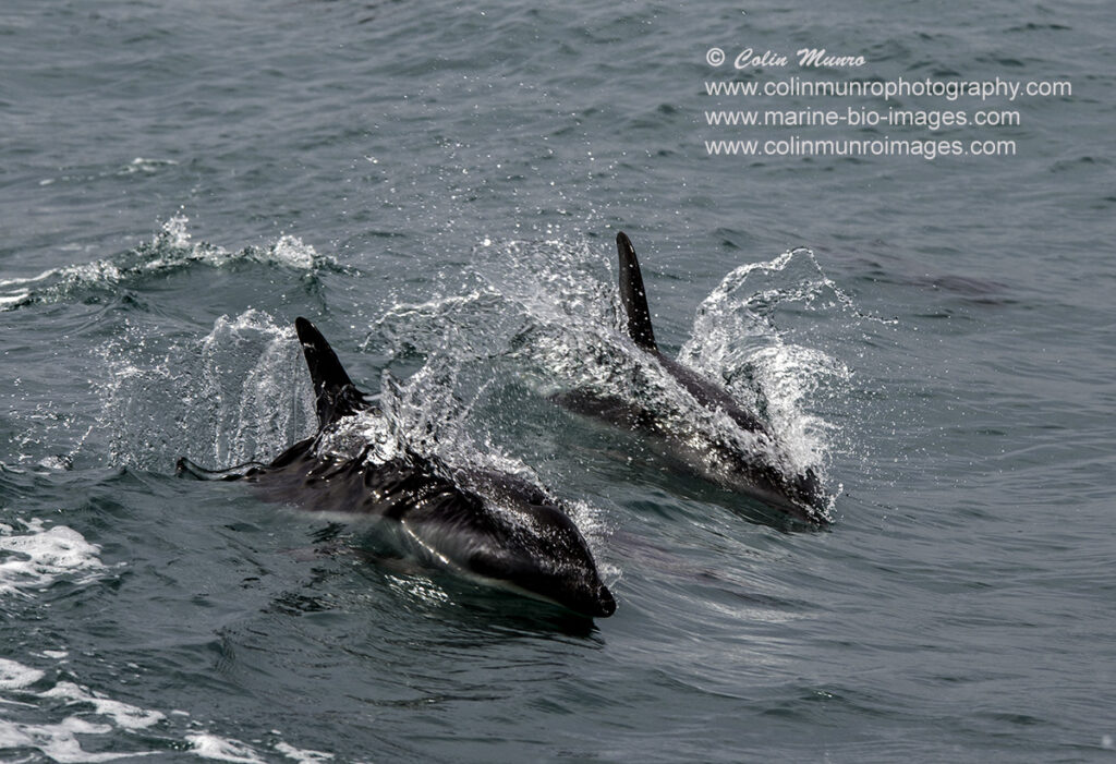 dusky dolphins racing through the water, Kaikoura, New Zealand