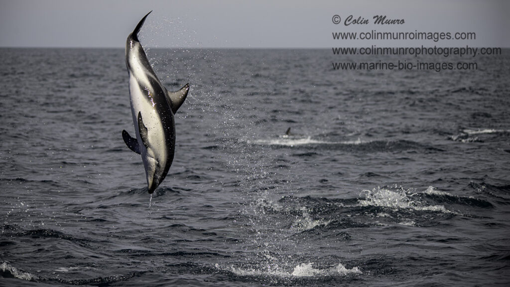 A dusky dolphin performs a back-flip. kaikoura, New Zealand.  © Colin Munro Photography
