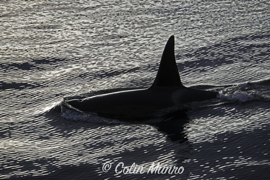 Fine art print of a male orca silhouetted at sunset.  Colin Munro Photography