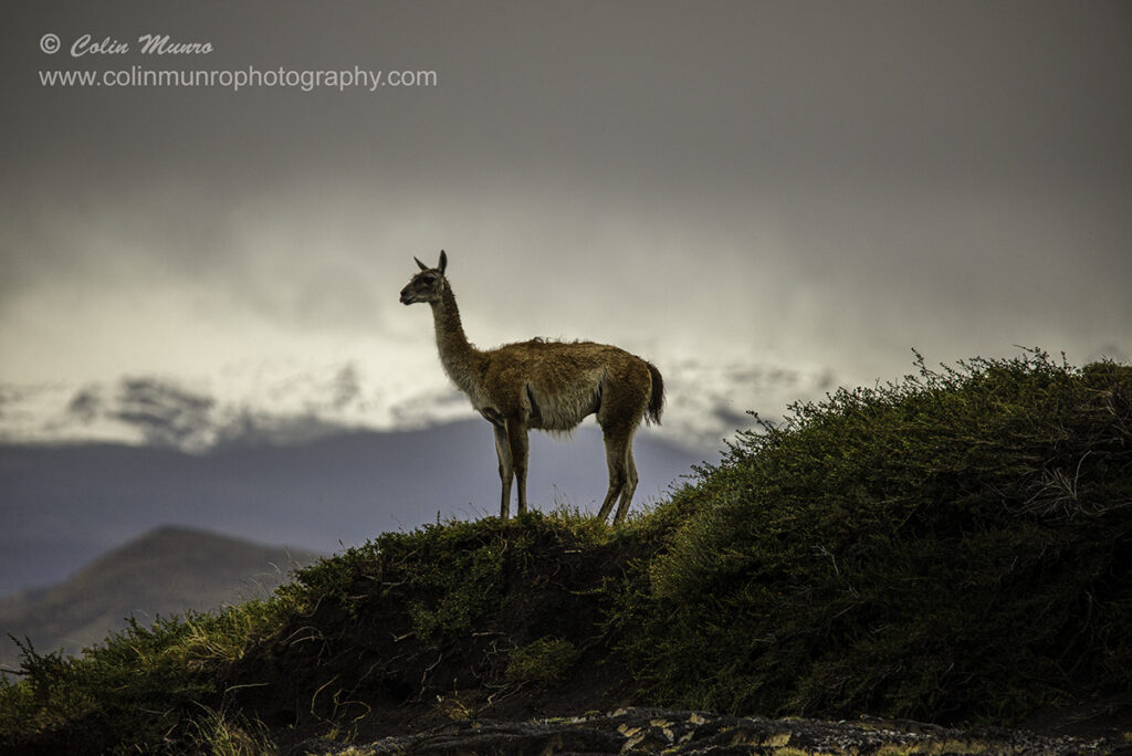 An iconic photo of a guanaco standing silhouetted against a backdrop of the Torres del paine mountains. Fine Art print of a guanaco. Colin Munro Photography