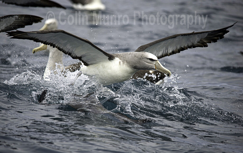 Salvins albatross taking off from the sea. © Colin Munro Photography www.colinmunrophotography.com